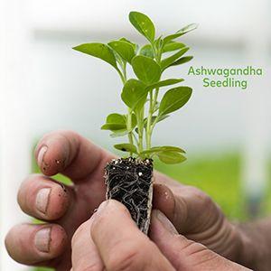 Gaia Herbs Organic Ashwagandha Seedling